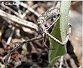Miagrammopes extensus in Chinnar Wildlife Sanctuary by C K Adarsh.jpg