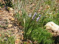 Micranthus alopecuroides.jpg