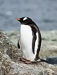 Mikkelsen Harbour-2016-Trinity Island (D'Hainaut Island)–Gentoo penguins (Pygoscelis papua) 03.jpg
