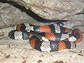 Milk Snake P9240112.JPG