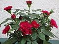 Mini roser florit.JPG