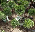 Mint Julep Juniper III plants growing in NJ in April.jpg