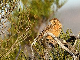 Mirafra apiata -Namaqua National Park, South Africa-8 Cropped.jpg