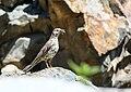 Mistle Thrush (Turdus viscivorus) (36312643525).jpg