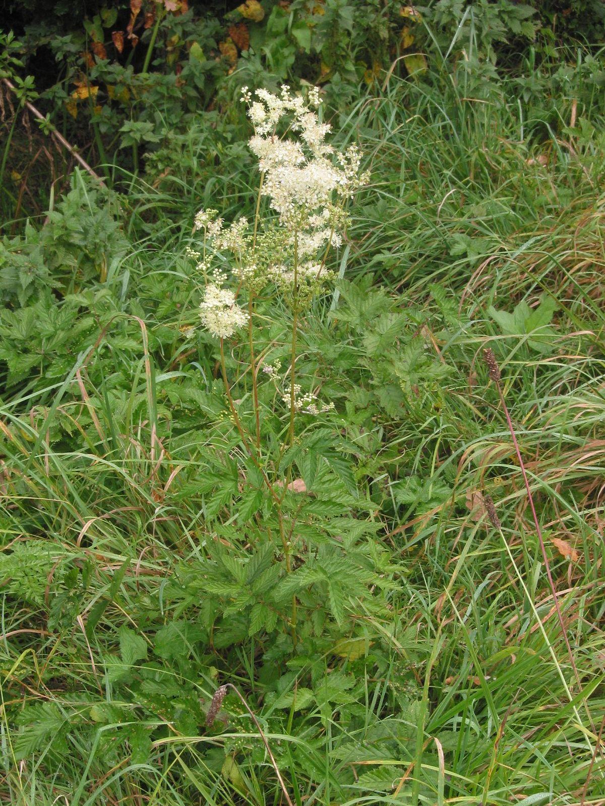 Garden Bush: Moerasspirea