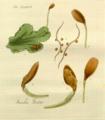 Monoclea forsteri Hook. 1820.png