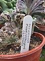 Monvillea phatnospermus Cristate (7146336539).jpg