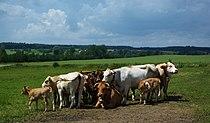 Moosburg - Rinderherde, dicht gedrängt.jpg
