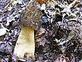 Morchella esculenta 3.jpg