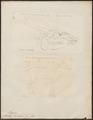 Moschus javanicus - 1700-1880 - Print - Iconographia Zoologica - Special Collections University of Amsterdam - UBA01 IZ21500178.tif