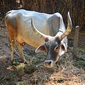 Mother Cow.jpg