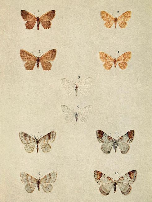 Moths of the British Isles Series2 Plate091.jpg