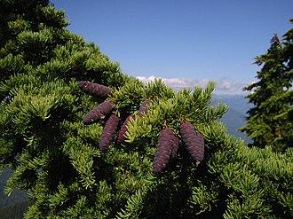 Tsuga mertensiana - Foliage and cones of subsp. mertensiana