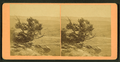 Mountain cedars, by Jackson, William Henry, 1843-1942.png