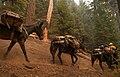 Mule pack string on Klamath NF trail (16370063625).jpg
