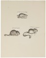 Mus spec. - 1700-1880 - Print - Iconographia Zoologica - Special Collections University of Amsterdam - UBA01 IZ20500109.tif