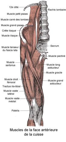 Muscle vaste médial — Wikipédia