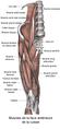 Muscles de la face antérieure de la cuisse.png