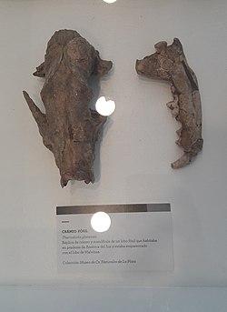 Museo Malvinas - Cráneo fósil de Theriodictis platensis.jpg