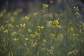 Mustard (Brassica) flowers D35 2155 01.jpg