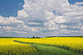 Mustard field, Grand Sault, NB (14719739134).jpg