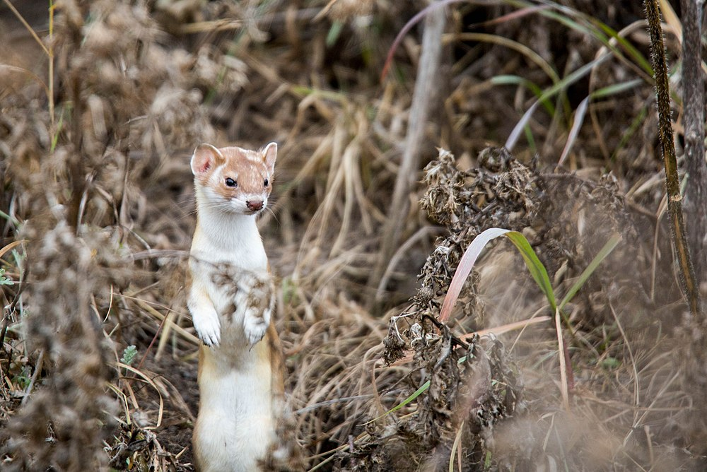 The average litter size of a Long-tailed weasel is 6