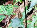 Mycalesis junonia - Malabar Glad-eye Bushbrown - Mugilu 01.jpg