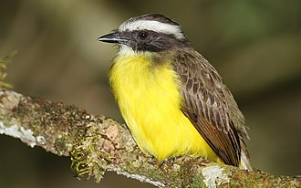 Great kiskadee - One of the diverse tyrant flycatchers resembling the great kiskadee in color is the aptly named ''Myiozetetes similis''