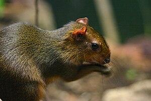 Green acouchi - Image: Myoprocta pratti