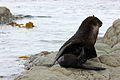 NZ Fur Seal - 1231 2013 005 (14000883830).jpg