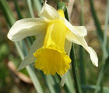 Narcissus pseudonarcissus flower 300303.jpg
