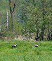 Nationalpark Müritz - am Weg zur Holzbrücke Pagelsee - Kraniche (3).jpg