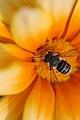 Native Australian bee.jpg