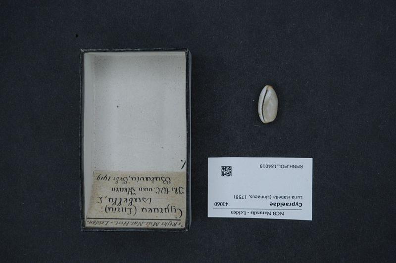 File:Naturalis Biodiversity Center - RMNH.MOL.184019 - Luria isabella (Linnaeus, 1758) - Cypraeidae - Mollusc shell.jpeg