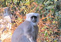 Neatly Coiffed Langur (5291467116).jpg