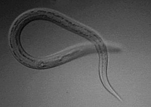 English: Necator Americanus (hookworm) L3 infe...