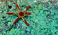 Necklace Seastar (Fromia monilis) with six harms (8502182097).jpg