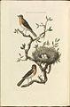 Nederlandsche vogelen (KB) - Erithacus rubecula (086b).jpg