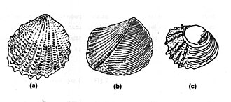 Trigoniidae - a) Neotrigonia, showing radial ornament across the exterior of the shell; b) Eotrigonia, the likely ancestor of Neotrigonia; c) Juvenile example of Neotrigonia, showing ornament similar to Eotrigonia. This ornament is lost in later stages of growth.