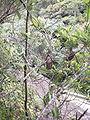 Nepenthes rigidifolia3.jpg