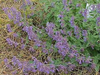 <i>Nepeta racemosa</i> species of plant