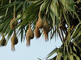 Nests in Palmyra Palm tree