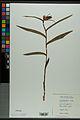 Neuchâtel Herbarium - Cephalanthera rubra - NEU000038362.jpg