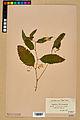 Neuchâtel Herbarium - Impatiens noli-tangere - NEU000019949.jpg