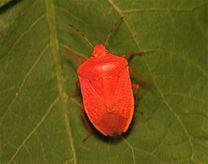Nezara viridula f. aurantiaca