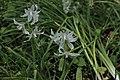 Nickender Milchstern Ornithogalum nutans 8772.jpg