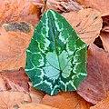 Nieuw blad van Cyclamen hederifolium tussen herfstbladeren. 23-11-2020 (d.j.b.) 05.jpg