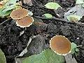 Nieuwegein - IJsselbos - Rafelig breeksteeltje (Pholiotina exannulata) 02.jpg