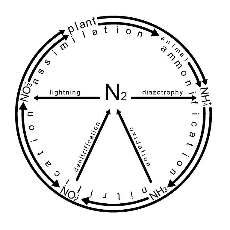 Filenitrogen Cycle