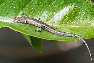 Metallic skink species of reptile